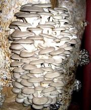 мицелий вешанки и шампиньонов