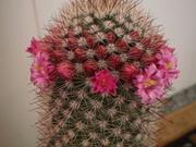 Продам шикарные кактусы
