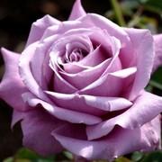 Саженцы роз для Вашего сада!