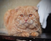 На вязку приглашает шотландский вислоухий кот!!!