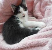 Чудове кошеня в хороші руки (котята,  котенок)