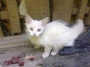 Белые пушистые котята ищут хозяев