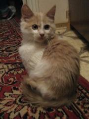 Рыже-белый МАЛЬЧИК Кирюша 2, 5 месяца в дар