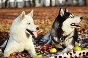 Питомник Сибирских Хаски ARCTIC DOGS UA предлагает щенков