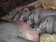 вьетнамские свиньи и поросята.